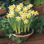How to Grow Flowering Bulb Plants in Pots / Naturalised Bulbs