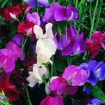 Expert Advice on Growing Sweet Peas