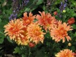 Growing Chrysanthemums – Early Flowering Chrysanthemums