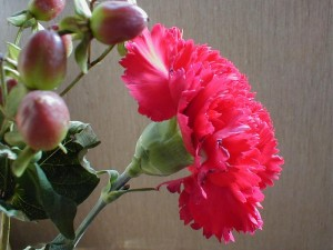 growing-carnations