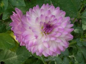 growing-dahlias
