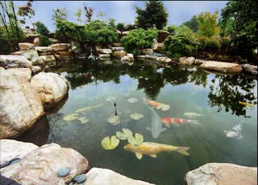 The water garden ponds and caring for them for Koi pool water gardens blackpool