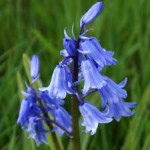 Bluebell / Bluebell - blooming bulbs