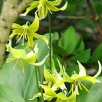 Erythronium-Dog's-tooth-Violet - blooming bulbs
