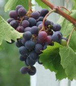 How to Grow Grapes – Vitis vinifera