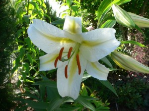 Summer Blooming Bulbs – Lily Bulbs