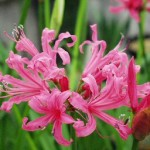 Nerine-Guernsey-Lily - blooming bulbs