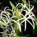 Paradise-Lilies - blooming bulbs