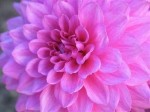 Growing Dahlias – Guide to Dahlia Flowers
