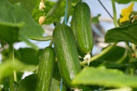 How to Grow Cucumbers – Cucumis sativus