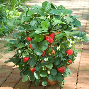 growing fruit in the greenhouse - growing strawberry