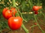 Greenhouse Plants – Growing Tomatoes (Lycopersicon)