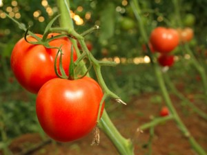 greenhouse plants - growing tomatoes - lycopersicicon