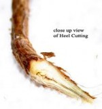 Plant Propagation Techniques – Heel Cuttings