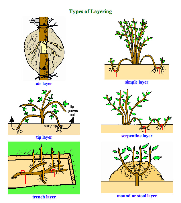 plant propergation Propagating houseplants by plant division works well with plants that form root clumps as they mature when the roots fill the pot, take the plant out and gently pull the root ball into.