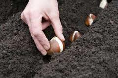 Planting Bulbs Outdoors