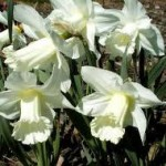 spring-blooming-bulbs-Beersheba-narcissus