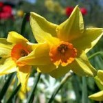 spring-blooming-bulbs-Grullemans-Giant-Narcissus