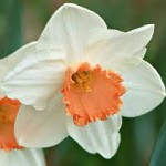 spring-flowering-bulbs-Jill-Narcissus