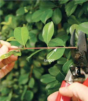Plant Propagation Techniques Taking Plant Cuttings