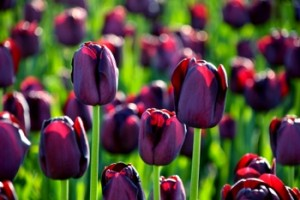 spring flowering bulbs - tulip bulbs