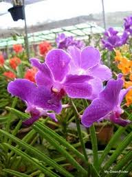 Buying Orchids