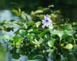 Care and Propagation of Pond Plants