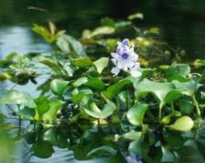 care-and-propogation-of-pond-plants