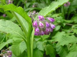 growing Comfrey for green manure