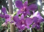 Dendrobium Orchids – Orchid Information
