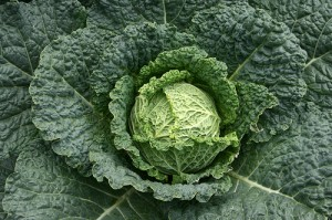 Guide-to-Growing-Cabbages