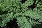 Guide to Growing Kale or Borecole