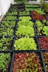 Guide-to-Growing-Lettuces