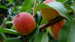 Guide to Growing Peaches and Nectarines