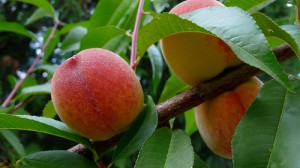 Guide-to-Growing-Peaches-and-Nectarines