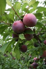 Guide to Growing Plums