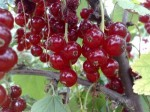 Guide to Growing Redcurrants and Whitecurrants