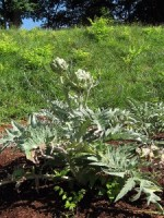 Guide to Growing Artichokes