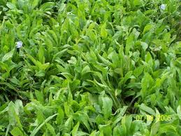 How to Grow Chicory