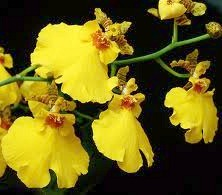 Oncidium - Orchids Facts