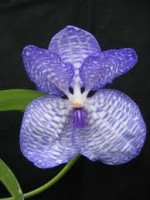 Vanda Orchids – Orchid Facts