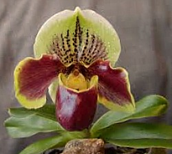 Paphiopedilum orchid - lady's slipper orchid
