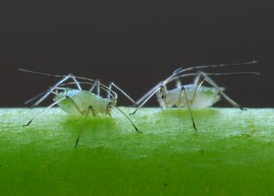 orchid pests - aphids