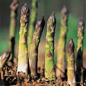 guide to growing asparagus