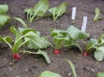 Guide to Growing Radishes
