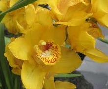 orchid - bacteria free plants