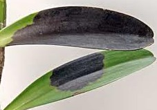 diagnosing orchid diseases - black-rot