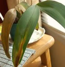 Orchid Problems – Mistakes in Caring for Orchids