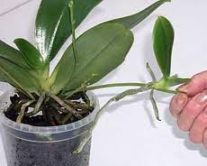 successfully propagating orchids