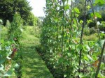 Guide to Growing Runner Beans